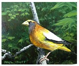 Evening Grosbeak - 8x10 - ap.JPG