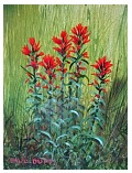 Indian_Paintbrush.JPG